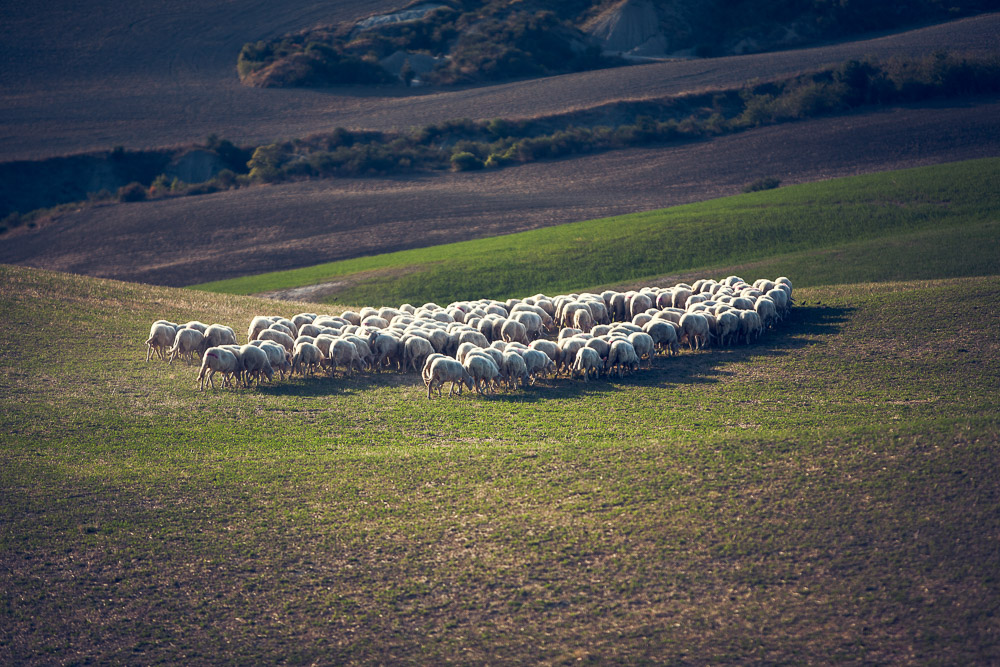 flock of sheep, Tuscany